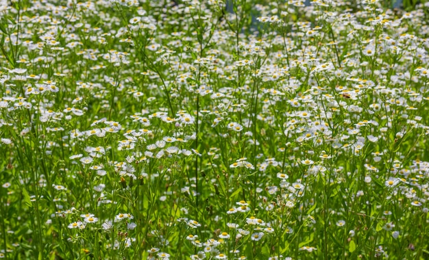 Field of blooming chamomile pharmacy close up