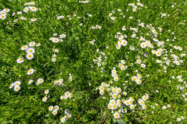 Field of blooming chamomile pharmacy top view