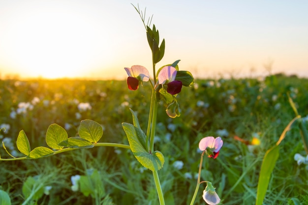 A field of blooming organic green peas.