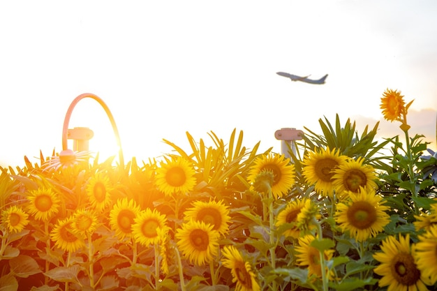 Field of blooming sunflowers on a background of sunrise and take off plane