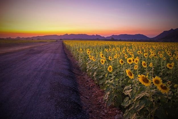 Field of blooming sunflowers on a background sunset or twilight time at lopburi thailand