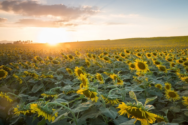 Field of blooming sunflowers on a background sunset with sunlight. landscape, wide view.