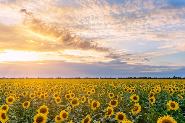 Field of blooming sunflowers on a background sunset.