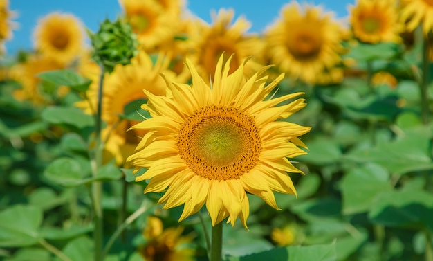 Field of blooming sunflowers. nature
