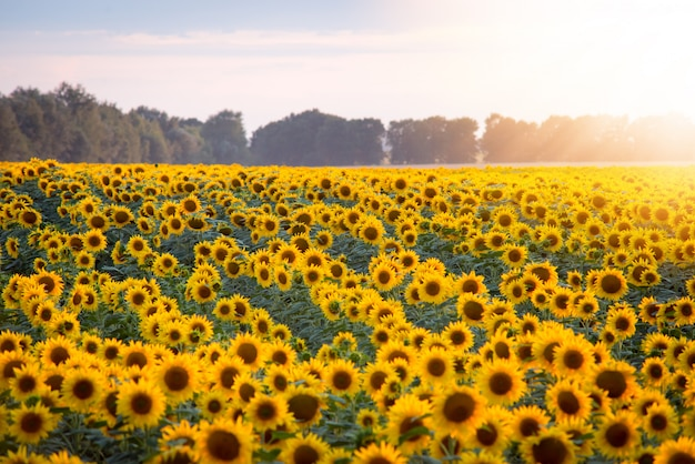 Field of blooming sunflowers and rising sun with warm rays