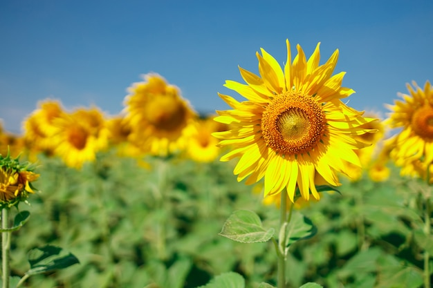 The field of blooming sunflowers on a sky blue background, beautiful lanscepe in asia.