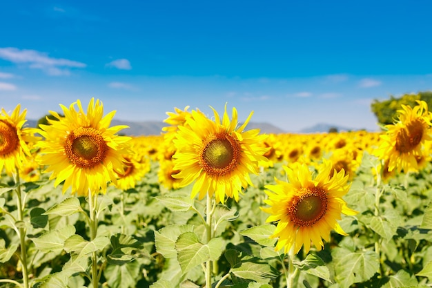 The field of blooming sunflowers on a sky blue background, beautiful lanscepe in asia. Premium Photo