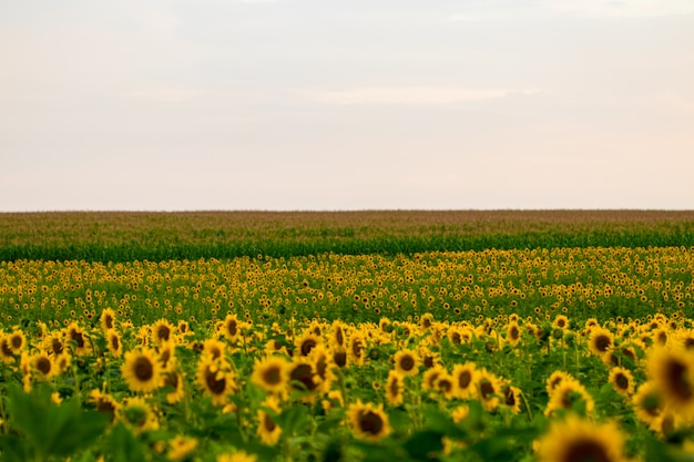 Field of blooming sunflowers on a sunset