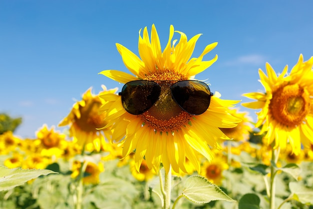 The field of blooming sunflowers with sunglasses on a sky blue background, beautiful lanscepe in asia.