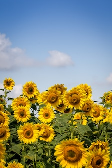 Field of blooming yellow sunflowers with blue cloudy sky