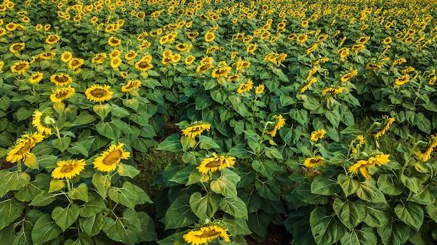 Field of bloooming  , landscape of sunflower farm