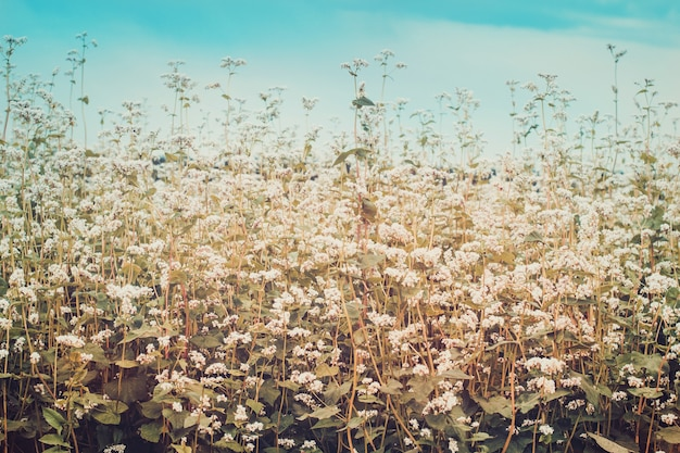 Field of blossoming buckwheat. ripening harvest. toned
