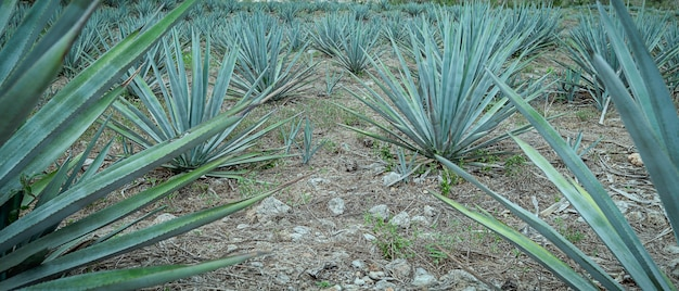 A field of blue agave in mexico. high quality photo
