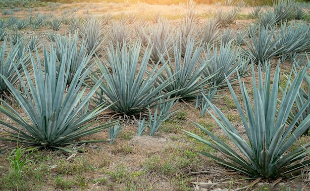 A field of blue agave in mexico