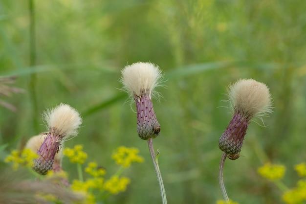 보케가 있는 흐릿한 녹색 배경에 꽃밭이 있는 필드 바디악(cirsium vulgare). 포스터.
