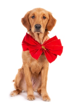 Field bred golden retriever puppy dog with christmas bow. isolated
