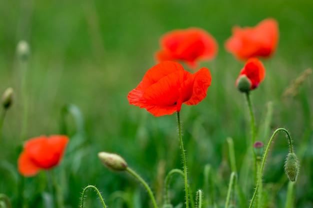 Field of bright red poppy flowers in summer.