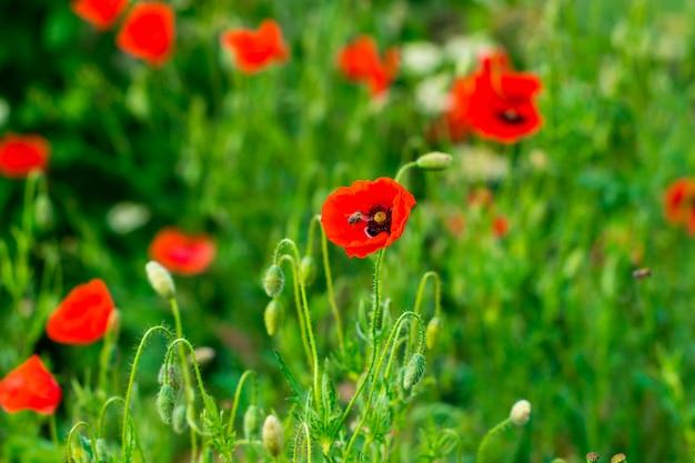 Field of bright red poppy flowers.