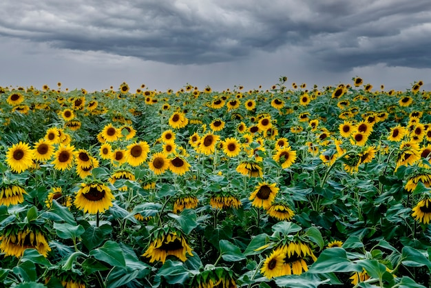 A field of bright sunflowers withâa stormy skyâperfect desktop wallpaper for design and interior