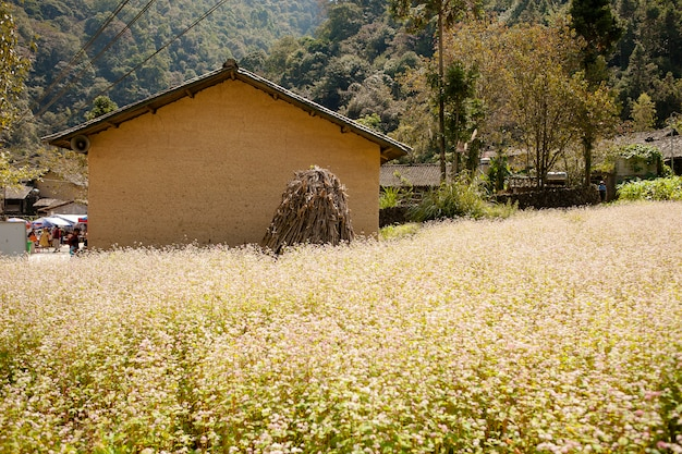 Field of buckwheat flowers at ha giang, viet nam. ha giang is famous for dong van karst plateau global geological park.