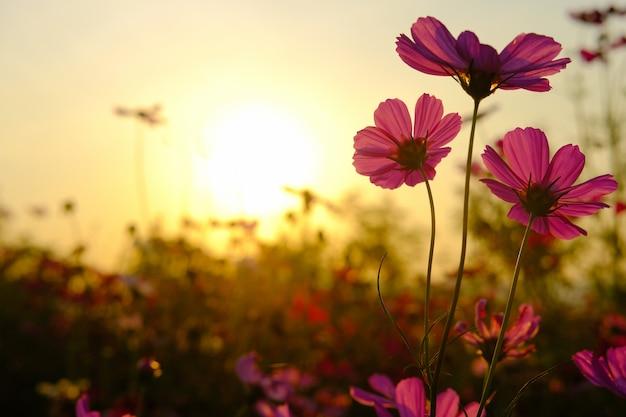 Field cosmos flower.