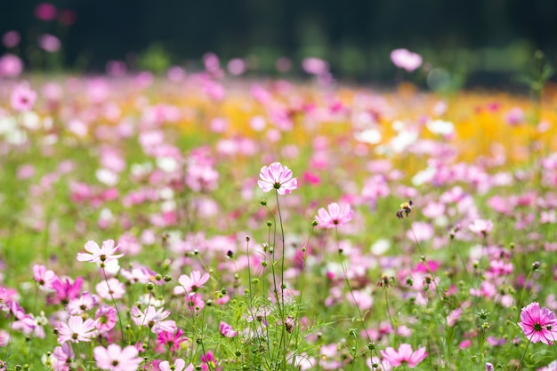 Field cosmos it beauty in the morning