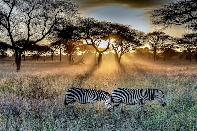 Field covered in the grass and trees surrounded by zebras under the sunlight during the sunset