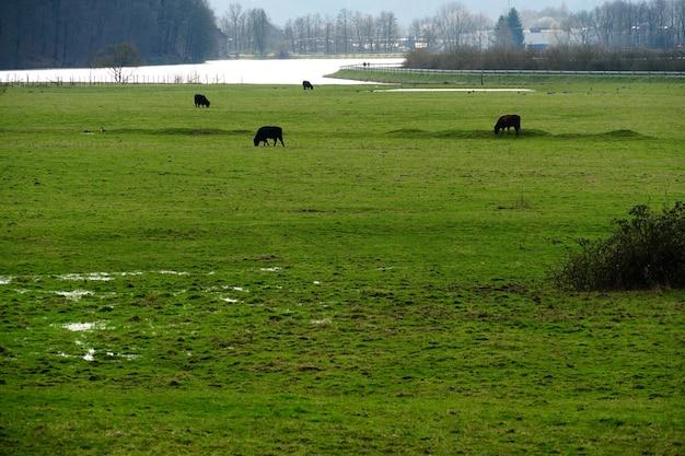 Поле, покрытое зеленью, в окружении пасущихся коров под солнечным светом в дневное время
