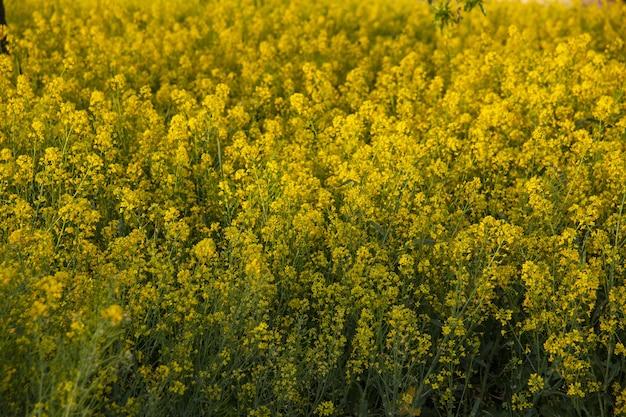 Campo coperto di fiori gialli sotto la luce del sole con uno sfondo sfocato