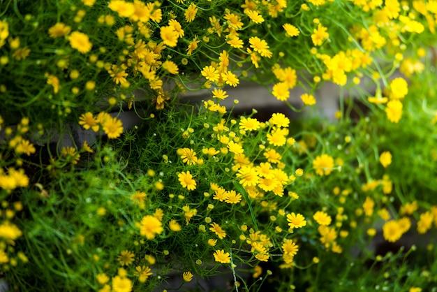 Field of dahlberg daisy