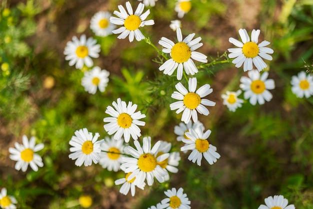 Полевые ромашки. крупный план. сорная трава. яркие летние полевые цветы.