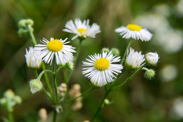 ぼやけた背景の花と植物のフィールドデイジー
