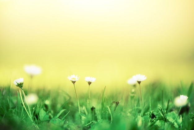 Field of daisy flowers. fresh green spring grass with sun leaks effect. summer concept. abstract nature background. banner