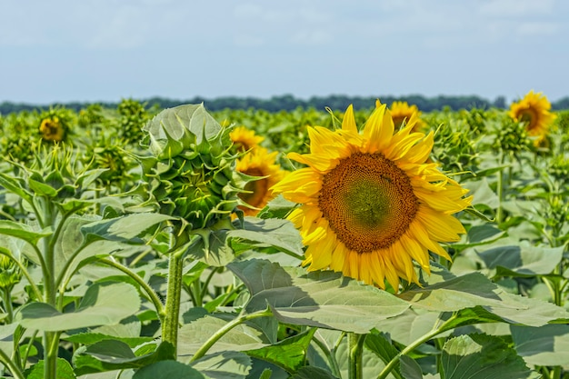 A field of even rows of sunflower plants, protected from pests, weeds, and diseases