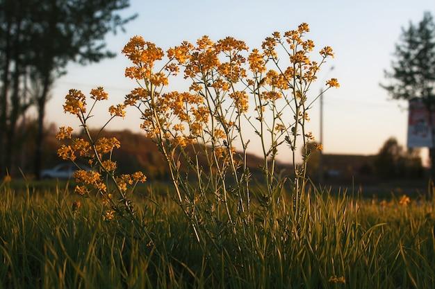 Полевой цветок на зеленом лугу весной вечер закат час