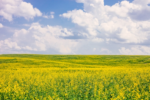 Field of flowering rape against blue sky with clouds.