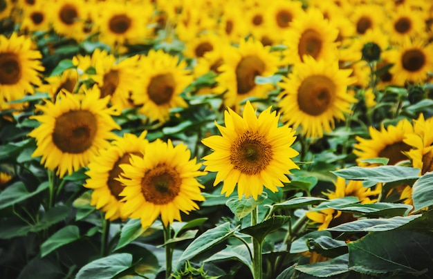 Field of flowering sunflowers. selective focus. nature