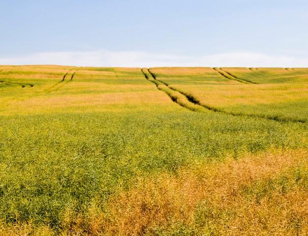 夏の終わりから初秋にかけて、収穫が熟した菜種でいっぱいの畑