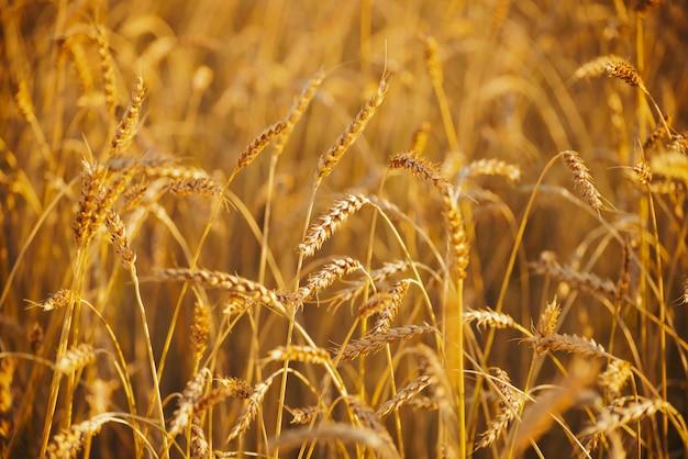 Field of gold wheat in sunlight