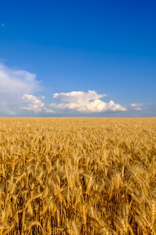 Field of golden wheat at blue sky background with white clouds. agriculture and farming concept, copy space, vertical orientation