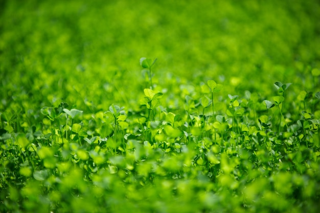 Field of a green clove. clovers three leaf. day of st patrick concept.