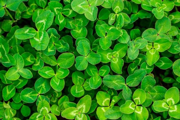 A field of green clover.
