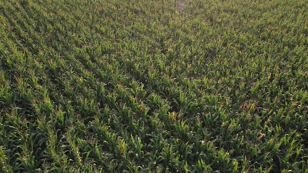 Field of green corn, aerial view of a ripening corn plantation.