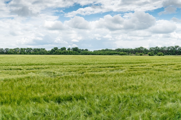 Field of growing green barley with many spikelets. scenic, rural, agrarian view