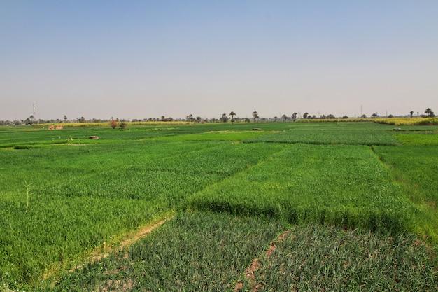 エジプトのナイル川のルクソールのフィールド