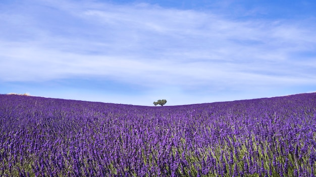 A field of lavanda in provence