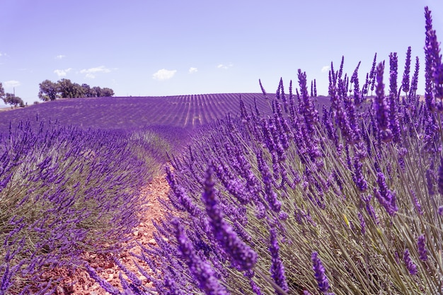 A field of lavanda with clouds
