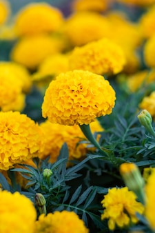 Field of marigolds, bright yellow flowers in the garden