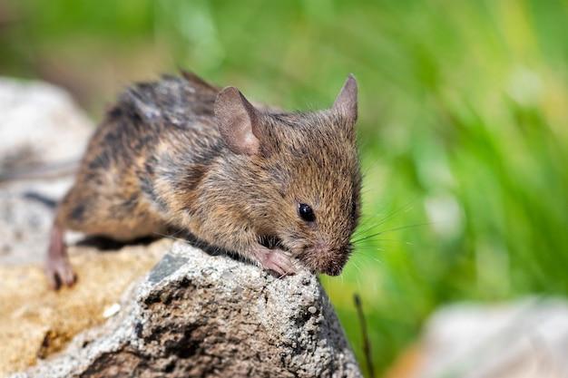 草の間の石の上の野原の野ネズミ