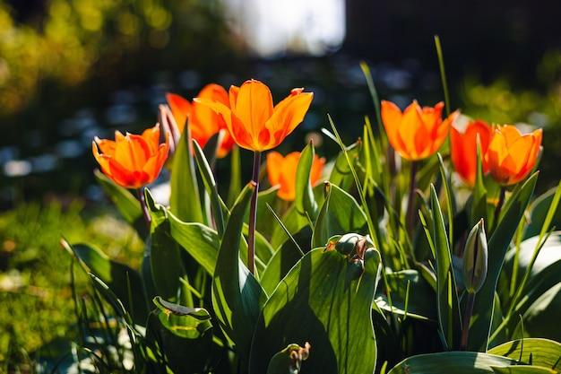 美しいオレンジ色の花びらのチューリップのフィールド